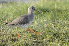 Redshank walking in a meadow. Redshank & x28;Tringa totanus& x29;, walking side wards in grassland, Texel, The Netherlands Royalty Free Stock Images