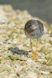 Redshank walking on shoreline Royalty Free Stock Images