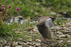 Redshank wing stretching Stock Images