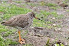 Redshanks comuns (totanus do Tringa) Imagem de Stock Royalty Free