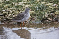Redshanks Royalty Free Stock Images