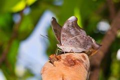 Redspot Duke butterfly Royalty Free Stock Photography