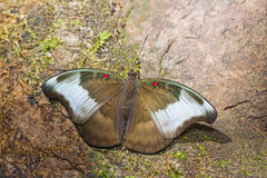 Redspot Duke butterfly Stock Photo
