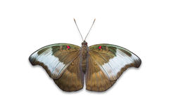 Redspot Duke butterfly Stock Images