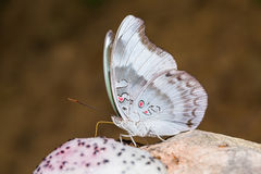 Redspot Duke butterfly Stock Photos