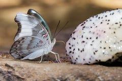 Redspot Duke butterfly (Euthalia evelina) is sucking food Royalty Free Stock Photos