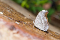 Redspot Duke butterfly (Euthalia evelina) Royalty Free Stock Images