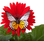 Redspot Sawtooth Butterfly Royalty Free Stock Photography