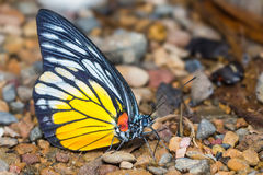 Redspot Sawtooth butterfly Stock Photos