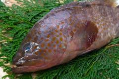 Redspotted grouper Zdjęcie Royalty Free