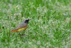Redstard masculin sur l'herbe Images libres de droits