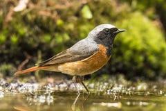 Redstart,共同的redstart Phoenicurus phoenicurus 免版税图库摄影