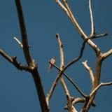Redstart,女性在枝杈(Phoenicurus phoenicurus) 库存照片
