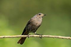 Redstart сидя на ветви стоковое изображение rf