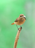 Redstart. Redstart female with insect in beak Royalty Free Stock Images