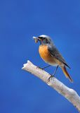 Redstart. Royalty Free Stock Photo