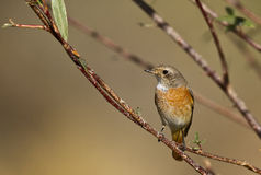 Redstart. Is perching on the branch of a tree stock photography
