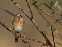 Redstart Royalty Free Stock Photos