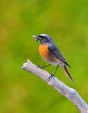 Redstart. fotografia stock