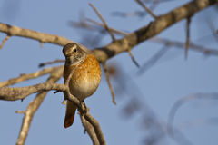 Redstart Royalty Free Stock Images