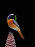 Redstart. Royalty Free Stock Photos