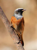 Redstart Royalty Free Stock Image
