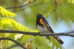 Redstart americano che canta Immagini Stock Libere da Diritti