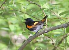 Redstart américain Photographie stock libre de droits