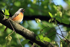 Redstart bird stock photography