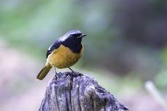 Redstart bird male on stump in nature Stock Photo