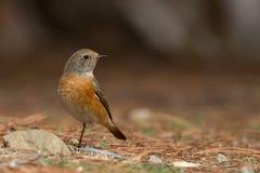 Redstart común en la tierra Imagen de archivo libre de regalías