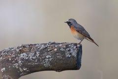 Redstart común, pequeño pájaro de la canción imágenes de archivo libres de regalías