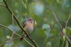 Redstart commun, femelle Images stock