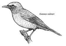 Redstart commun, illustration de phoenicurus de Phoenicurus, dessin, gravure, encre, schéma, vecteur illustration de vecteur