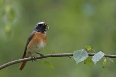 Redstart commun, mâle Images stock