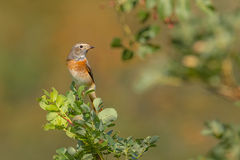 Redstart commun - Redstart commun Image stock
