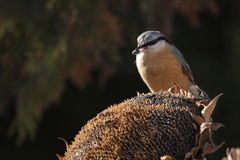 Redstart comum Fotografia de Stock Royalty Free