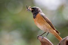 Redstart comune Immagini Stock Libere da Diritti