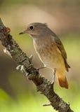 Redstart comune (phoenicurus del Phoenicurus) fotografia stock