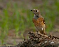 Redstart comune (phoenicurus del Phoenicurus) fotografie stock
