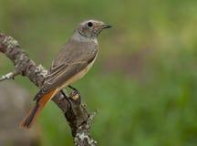 Redstart comune (phoenicurus del Phoenicurus) immagine stock libera da diritti