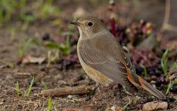 Redstart comune (phoenicurus del Phoenicurus) immagine stock