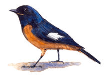 Redstart de Daurian Images stock