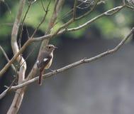 Redstart del nord Immagini Stock