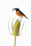 Redstart on Dipsacus. Redstart on a thistle, eating a worm with a white background isolated Stock Photo