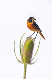 Redstart on Dipsacus. Redstart on a thistle, eating a worm with a white background isolated Royalty Free Stock Images