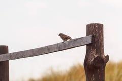 Redstart en la barrera Foto de archivo libre de regalías