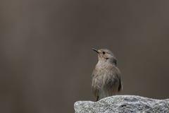 Redstart fêmea em um fundo liso Fotos de Stock Royalty Free