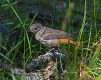 Redstart female in the foreground Royalty Free Stock Image