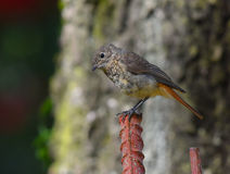 Redstart female in the foreground Royalty Free Stock Photos